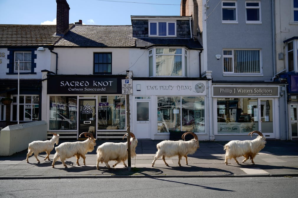 Goats in the streets of LLandudno